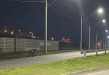 lobo-guara-urbanova